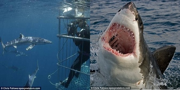 Chris Fallows, chủ sở hữu của Apex Shark Expeditions cùng với vợ mình Monique trong một tập đặc biệt của chương trình National Geographic có tên JAWS tại đảo False năm 1999, cùng với Peter Benchley.