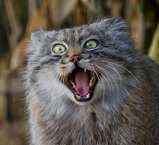 Tròn xoe mắt với những biểu cảm siêu đáng yêu của chú mèo Manul