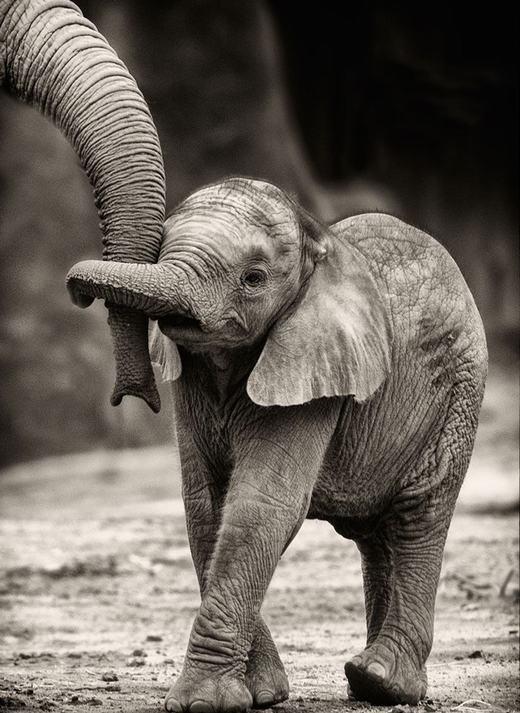 Bé voi đang quấn lấy vòi bố không rời