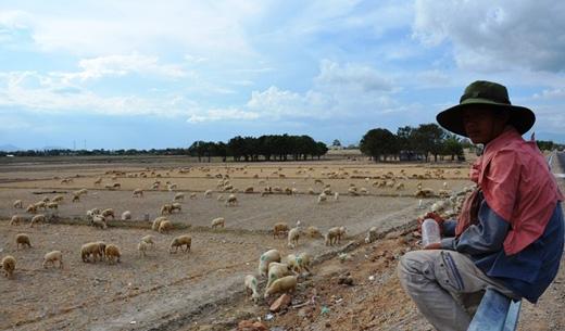 Người nông dân phải chăn cừu trong điều kiện nắng nóng chết người