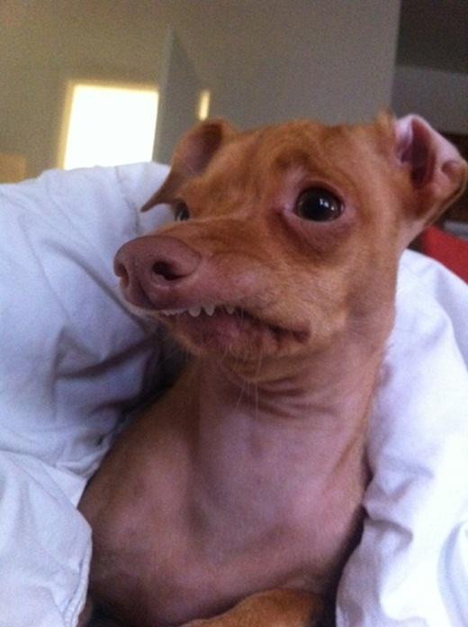 """Giải đáp lý do chú chó """"xấu xí nhất thế giới"""" kiếm được nhiều tiền"""