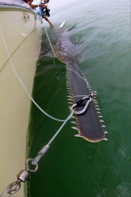 Cá mập kiếm mũi dài. Nhưng bạn chớ lại gần nhé, những chiếc răng này sẽ làm bạn bị thương đấy!