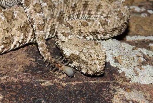 Không phải hoa đâu, đó là đuôi của một trong những loài rắn độc nhất thế giới đấy!