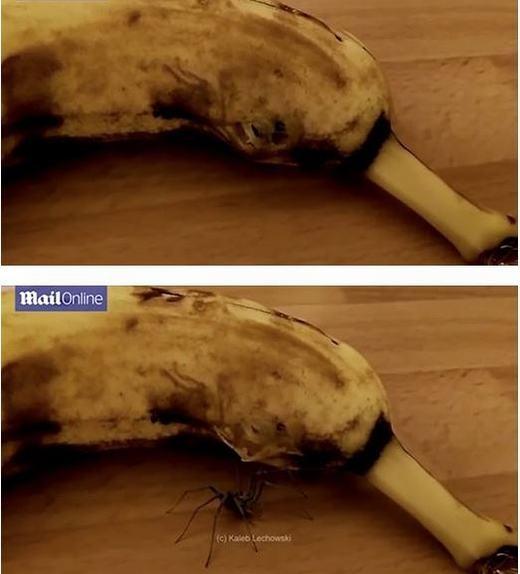 Một con nhện bò ra từ quả chuối có đủ khiến bạn té xỉu không?