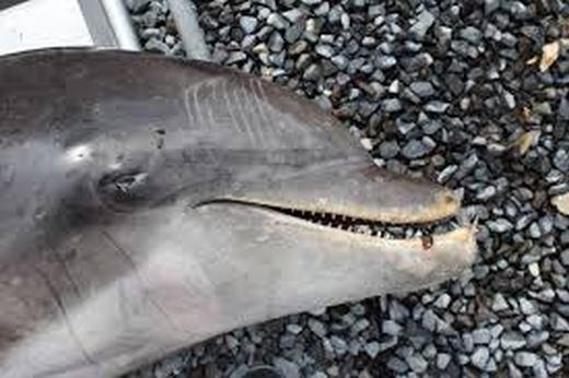 Rùng rợn cảnh cá heo con trôi dạt vào bờ trong tình trạng đứt lìa