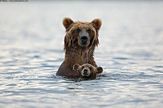 """""""Gấu mẹ vĩ đại"""" đang tập bơi cho gấu con."""