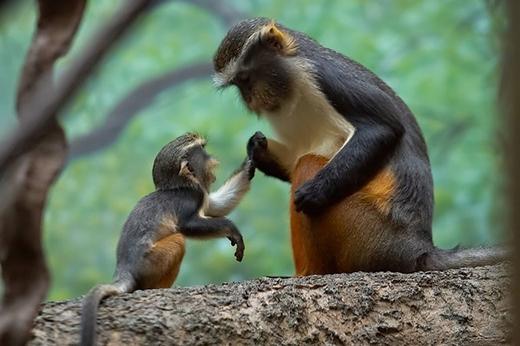 """Chú khỉ này đang """"dạy dỗ"""" khỉ con về những gì có thể ăn được trong rừng."""