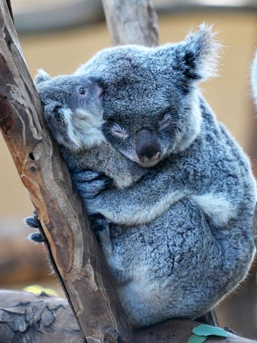 """Bạn cảm nhận được """"sức mạnh của cái ôm"""" qua hình ảnh thân thương của gia đình Koala này không?"""