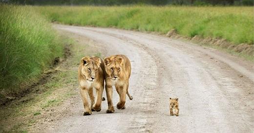 Những bước đi đầu đời của sư tử con luôn được bố mẹ chúng dõi theo.