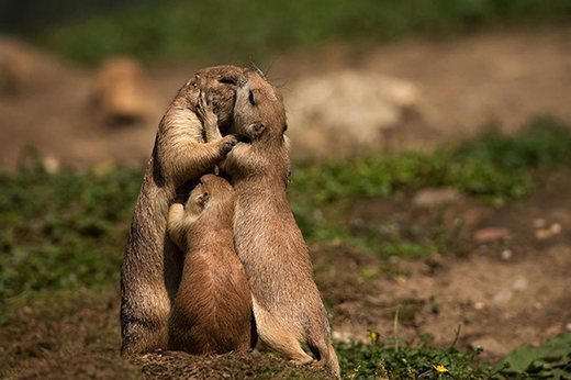 Ôi! Bố mẹ đang hôn nhau thế mà con vẫn đòi bú sữa.