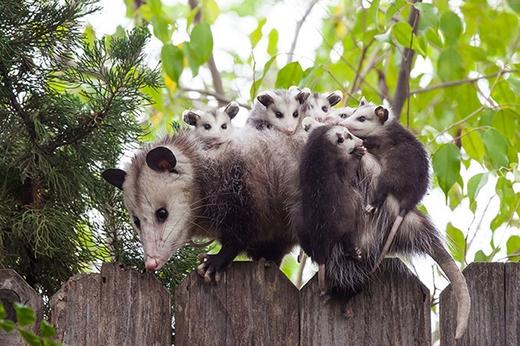 Những loài thú có vú sống trên cây phải bám theo bố mẹ như thế này trong nhiều tháng đầu khi mới sinh.