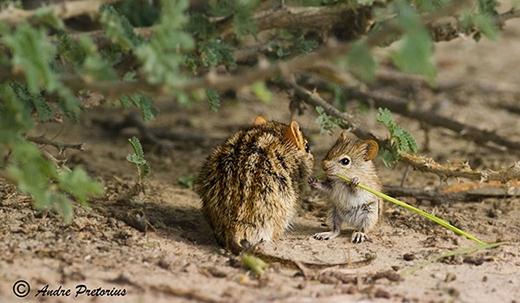 Chú chuột con đang học cách gặm nhấm thức ăn.