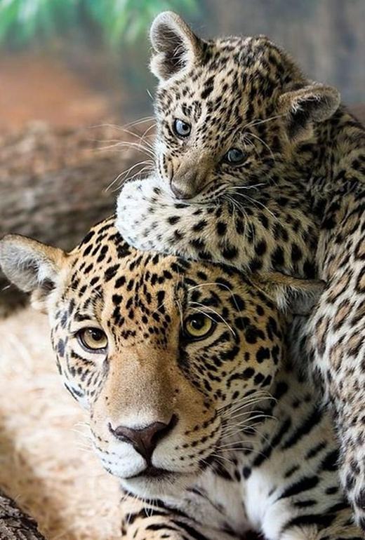 Ánh mắt của chú báo con sẽ sắc bén hơn khi trưởng thành như bố mẹ của chúng.