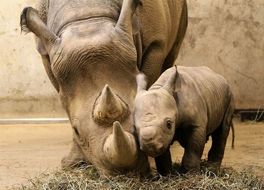 Chú tê giác con khi mọc sừng sẽ phải học cách bảo vệ chính mình khỏi những kẻ săn trộm.