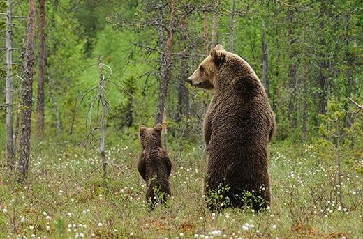 Gấu cha đang dạy cho con mình cách đứng để có được tầm nhìn rộng hơn.