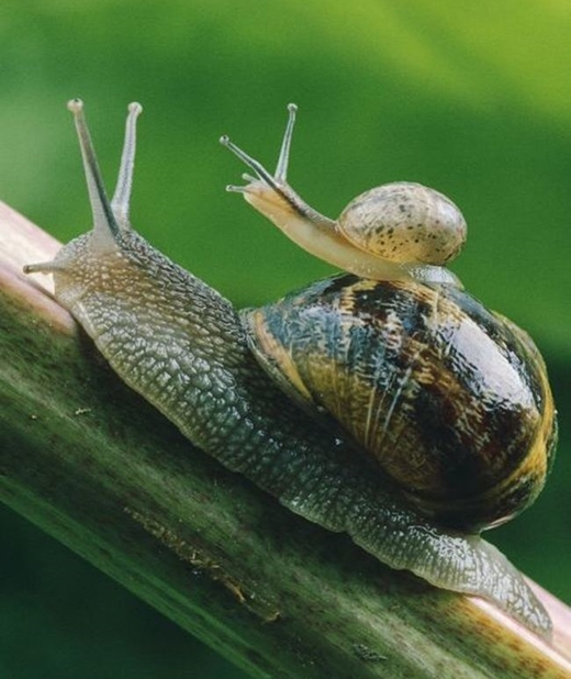 Cũng giống những loài động vật sống trên cây, loài ốc luôn mang theo con trên chiếc vỏ chắc chắn của chúng.