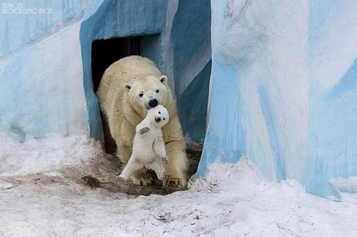 Gấu con được làm quen dần với cái lạnh giá ở Bắc Cực.