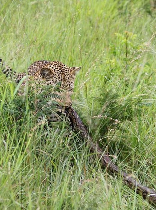 Tuy nhiên, con báo loay hoay không biết ăn con trăn này bằng cách nào.