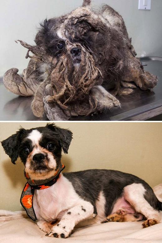 Chú chó Rasta được tìm thấy đang lang thang trên đường trong bộ dạng không thể tin nổi. Bộ lông của chú bị bụi bẩn bện lại khiến nhiều người đi đường không nhận ra đây là cục đất hay là một chú chó.