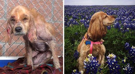 Chú chó Kenzi có một bộ lông dài óng mượt hơn trước đây. Chú cũng có một cuộc sống hạnh phúc với gia đình mới.