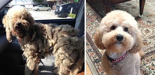 Chú chó giống Poodle này đã được một người phụ nữ đem về nuôi khi thấy chú đang bới móc những đống rác. Bộ lông của Dolly bây giờ gọn gàng hơn và dễ thương hơn rất nhiều.