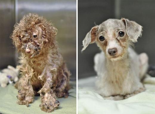Chú chó Little Betty bị chủ bỏ rơi tàn tạ đến không thể hiểu nổi. Nhưng rất may, Little Betty đã tìm được một gia đình tốt bụng chăm sóc.