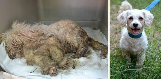 """""""Cô chó"""" Treasure không thể nhấc chân do bởi bộ lông dày và nặng. Nhưng cô nàng đã nhận được sự chăm sóc đặc biệt từ gia đình mới."""
