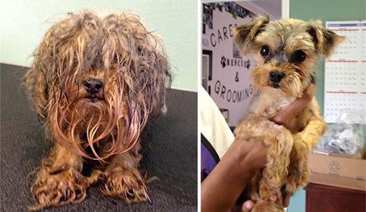 """Chú chó Boo được tìm thấy trên đường phố trong tình trạng ẩm ướt và có mùi khó chịu. Sau khi được """"giải cứu"""", chó Boo trở nên gọn gàng hơn."""