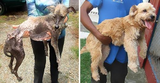 Một chú chó thật kiên cường! Cedar đã phải chiến đấu với căng thẳng, bệnh tật, thức ăn trước khi được một gia đình tốt bụng nhận nuôi.