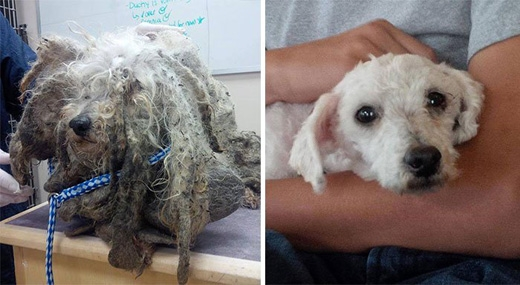 Một chú chó nhỏ nhắn bị bao phủ bởi bộ lông bện chặt lại với nhau. Hiện Shrek đã 6 tuổi và đang được nuôi dưỡng tại một trung tâm dành cho những chú chó vô gia cư.