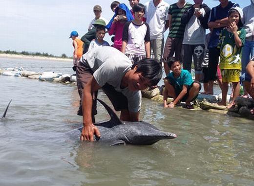 """Người dân """"cấp cứu"""" thành công cá heo quý hiếm bị dạt vào bờ"""