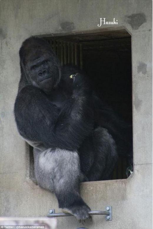 """Chú khỉ đột """"đẹp trai"""" khiến chị em phụ nữ phải """"phát cuồng"""""""