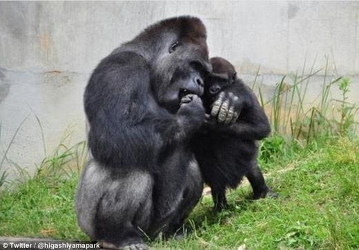 Chú khỉ đột Shabani bên con của mình.