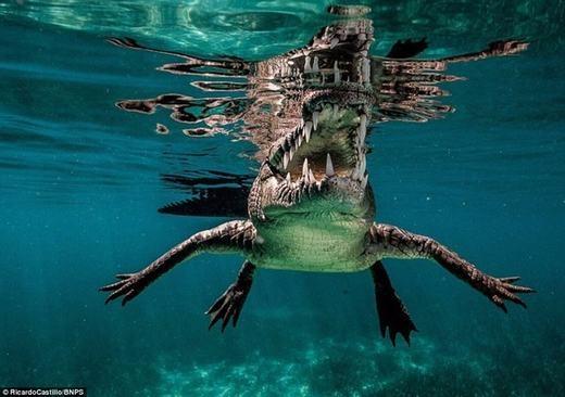 Nhiếp ảnh gia đó có tên là Ricardo Castillo, 39 tuổi. Ông đã lặn xuống ngoài khơi bờ biển Cuba với hy vọng sẽ bắt gặp và ghi lại những hình ảnh về cá mập. Tuy nhiên, khi chưa gặp được cá mập thì ông lại phải đối mặt với một quái vật khác, đó là cá sấu khổng lồ.