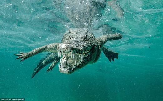 Ricardo cũng nhấn mạnh thêm rằng, kinh nghiệm và sự hiểu biết mới là yếu tố chính để có thể tiếp cận những loài động vật nguy hiểm như cá mập hay cá sấu. Sự can đảm chỉ là yếu tố nhỏ và bạn phải có hai yếu tố trên kia nếu không muốn thành miếng mồi ngon cho chúng.