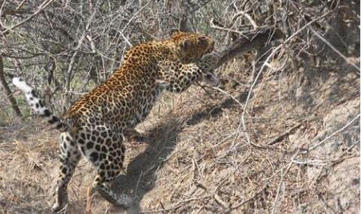 Nhanh như cắt, con báo dùng chân chụp lấy đầu con trăn và ngoạm vào cổ. Trăn gần như bất lực trước đòn thế nhanh như chớp của con báo.