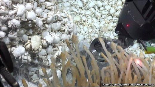 Choáng với hàng ngàn con cua mù bò lúc nhúc dưới đáy biển sâu