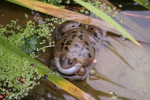 Ở Hamburg, Đức, vào năm 2006, có khoảng 1000 con cóc bị phình to gấp 3 lần kích thước thường thấy của nó rồi sau đó phát nổ không lý do, khiến phát tán ra một loại vi rút gây bệnh mới. Các nhà khoa học đã tìm ra lý do đằng sau sự việc này là do những con quạ đã mổ vào da ếch và lấy gan để ăn. Sau khi bị mất gan, ếch đã phình to để tự vệ. Nhưng do không có xương sườn và đã mất gan nên phổi của chúng không thể giữ lại được, vì thế chúng cứ tiếp tục phình to cho đến khi bị nổ.