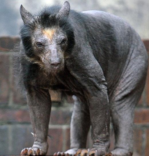 Đa số các loài động vật đều trông khá buồn cười khi bị cạo lông. Tuy nhiên, gấu lại là một ngoại lệ. Chúng sẽ trở thành thứđáng sợnhất mà bạn từng nhìn thấy trên đời.