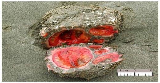 Đây là Pyura chilensis, một loại động vật thuộc họ Pyuridae. Chúng có bề ngoài giống như những hòn đá với phần ruột đỏ như máu. Nó kiếm ăn bằng cách hút nước biển và lọc ra các loại vi sinh vật. Pyura chilensis đều là giống đực khi sinh ra. Khi đến thời kì sinh sản, chúng sẽ trở thành lưỡng tính. Chúng thường tự tung tinh trùng và trứng vào phần nước xung quanh.
