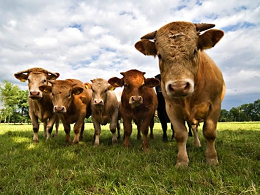 Mỗi năm, trung bìnhcá mậpkhiến 10 người mất mạng. Và cũng mỗi năm, ước tính khoảng 100 người mất mạng vì bị bò giẫm lên. Và giờ, theo bạn, ai mới là sát thủ đáng sợ hơn?