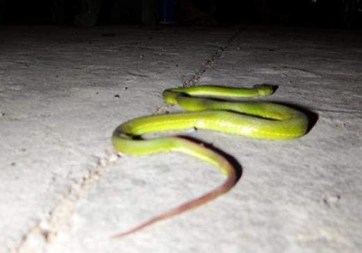 Nhiều lời đồn thổi về có đối tượng xấu thả rắn ra hại người