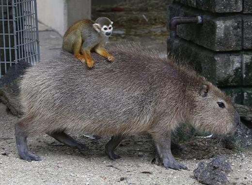 Sự việc được ghi nhận tại vườn thú Tobu, Nhật Bản. Trong hình là một con khỉ sóc cưỡichuột lang nước Capybara.