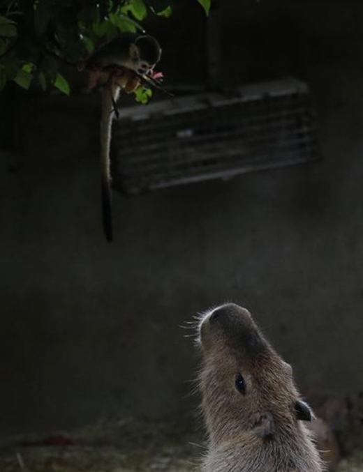 Như đã biết, chuột lang nước là loài gặmnhấm lớn nhấthiện còn tồn tại trên thế giới. Loài chuột này có thể đạt cân nặng lên tới 60 kg khi trưởng thành. Thậm chí có những con có trọng lượng lên tới 100kg.
