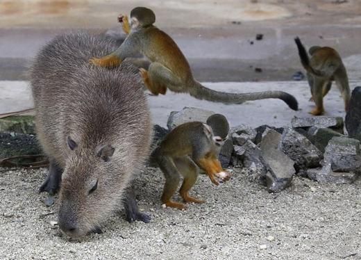 """Tuy to lớn nhưng chuột lang nước là loài động vật khá hiền lành, thân thiện… đây chính là lí do vì sao chúng """"kết thân"""" với những chú khỉ sóc."""