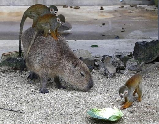 """Những chú chuột lang nước rất hòa đồng với lũ khỉ dù bị chúng """"lợi dụng"""" làm phương tiện di chuyển."""