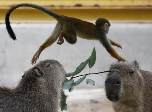 Lũ khỉ rất nghịch ngợm, chúng thường xuyên bay người từ trên lưng chuột này qua chuột khác…