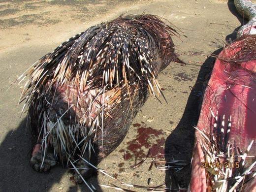 Cách đây ít lâu, một con trăn đá châu Phi đã phải bỏ mạng oan uổngchỉ vì nuốt phải một con nhím cực lớn, lên đến 14 kg.