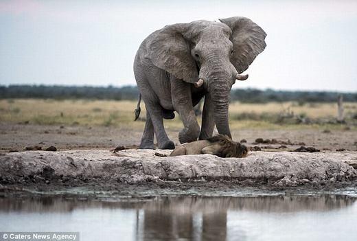 """Do đó, nó gần như """"bất động""""cho dù con voi đang lững thững tiến tới."""