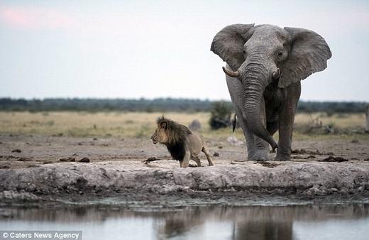 Suýt chút nữa, nó đã bị bẹp dí dưới chân con voi.